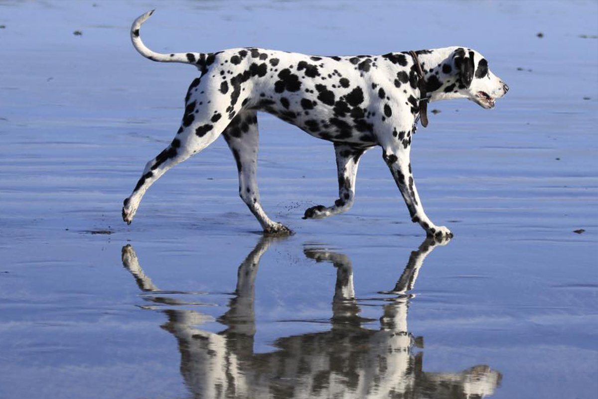 Dalmation enjoying her walk across Newport Beach with her reflection in the sand/sea. Wales, Pembrokeshire, Newport Beach
