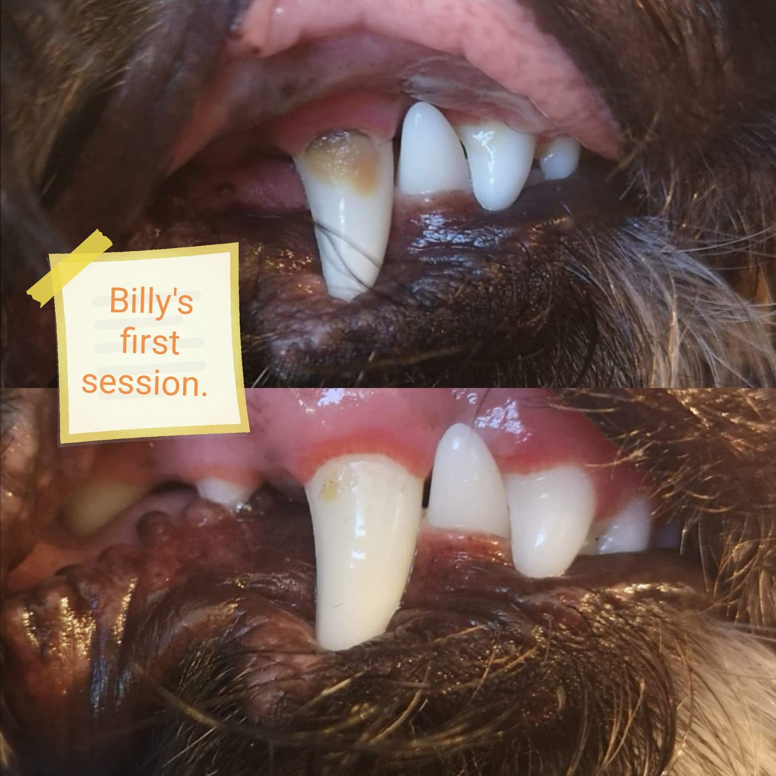 Billy before and after image. Dog teeth cleaning in pembrokeshire