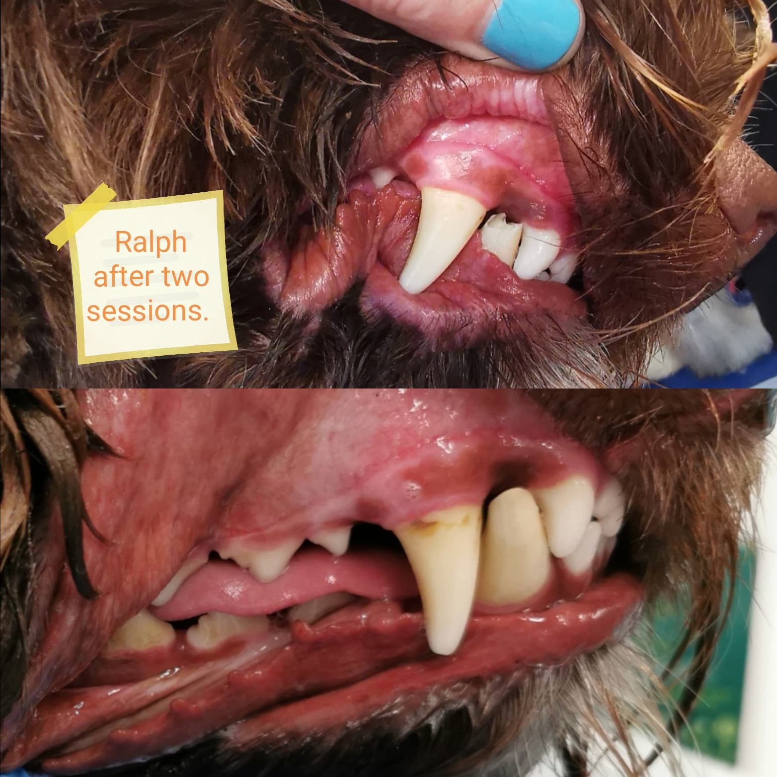 Dog teeth cleaning pembrokeshire. Ralphie before and after